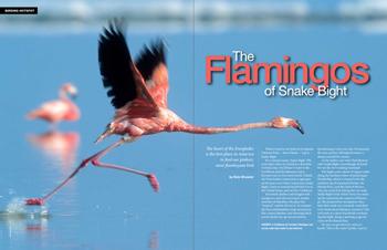 The flamingos of Snake Bight