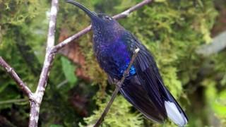 Violet-sabrewing