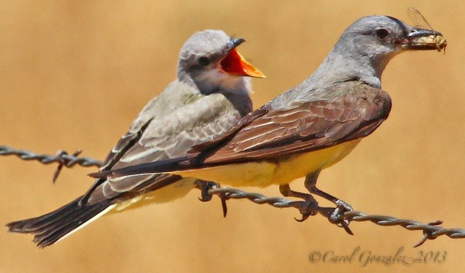 Revealed by geolocators: Kingbirds use more than one site in winter