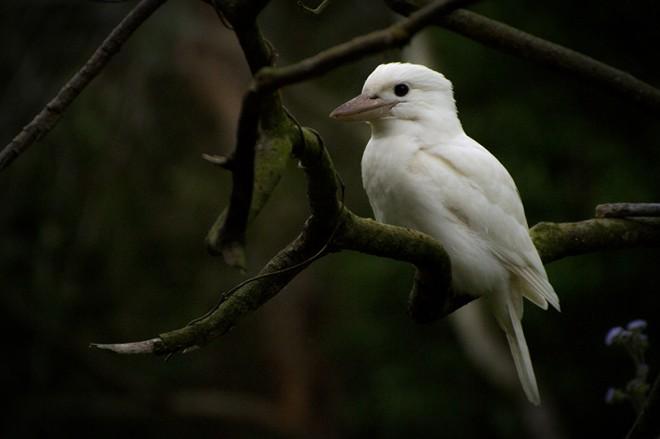 White_kookaburra_sitting_sm