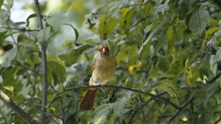 cardinal-female-3