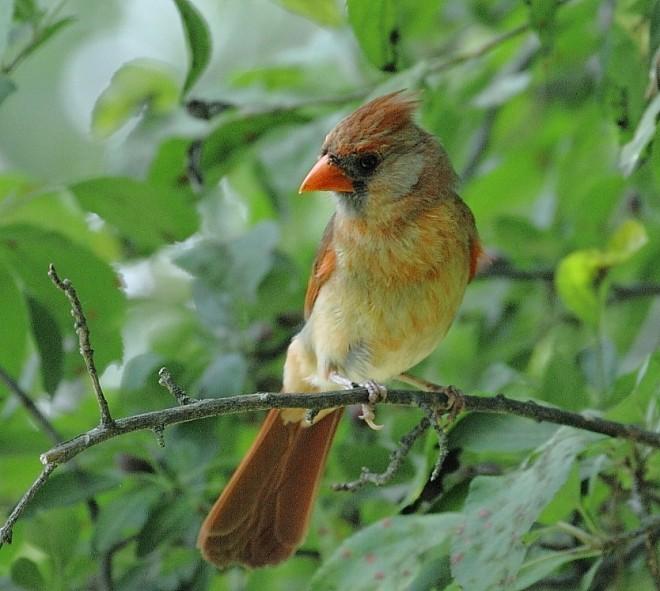 cardinal-female-6