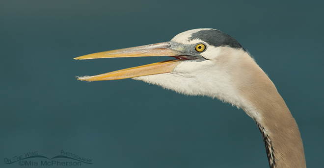 great-blue-heron-florida-mia-mcpherson-8142