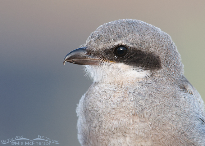 loggerhead-shrike-fledgling-close-up-mia-mcpherson-5385