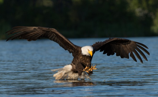 Bald Eagle on Erie Lake near Salmo, British Columbia, by Monte Comeau.