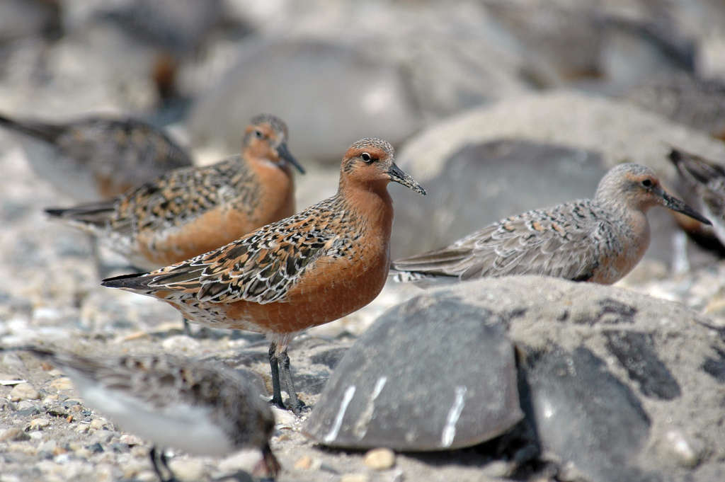 Red Knot proposed for Endangered Species Act protection