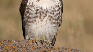 red-tailed-hawk-head-on-juvenile-mia-mcpherson-5758