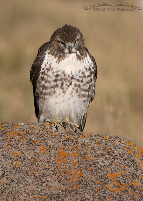 red-tailed-hawk-head-on-juvenile-mia-mcpherson-5758