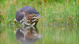 tn_Green-Heron_5327-1