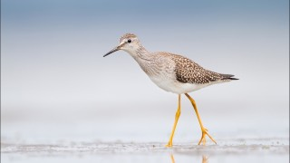 tn_Lesser-Yellowlegs_2338-1