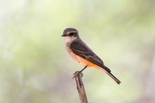 vermillion-flycatcher-1282