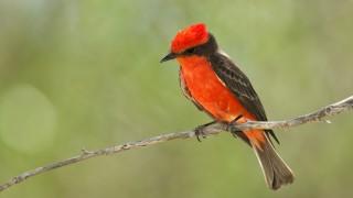 vermillion-flycatcher1321