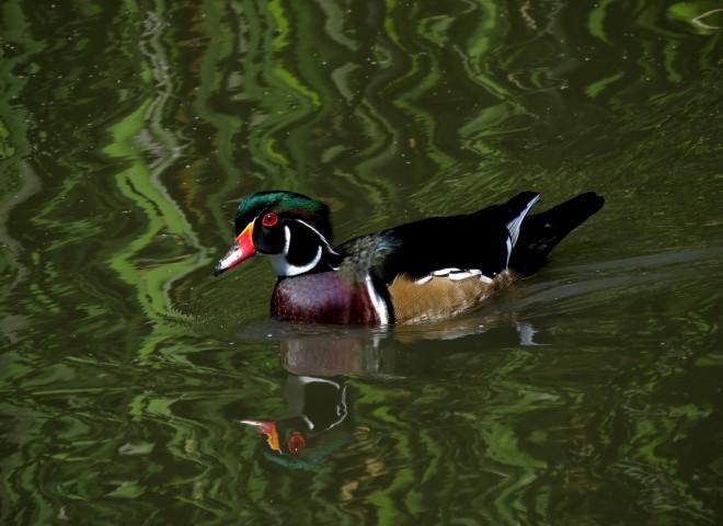 wood-duck