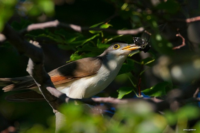 Yellow-billed Cuckoo at Montrose Point, Chicago, by Jerry Goldner.