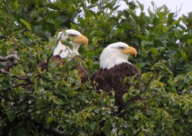 7-14-13-Bald-Eagle-02