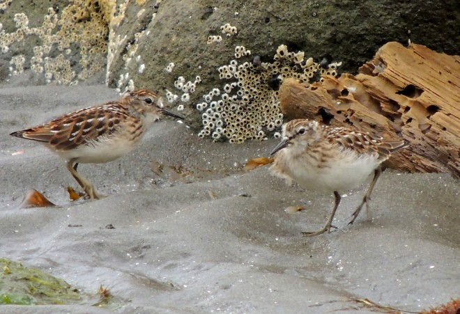 7-16-77-Least-Sandpipers-04