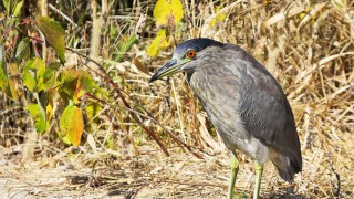 Black-Crowned-Night-Heron-34