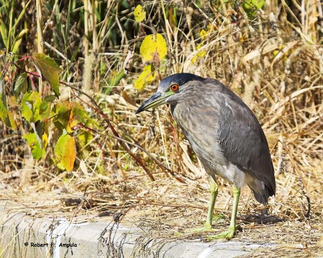 Black-Crowned-Night-Heron-34