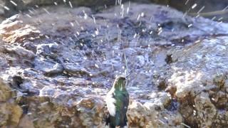 Broadtail-Hummingbird-441
