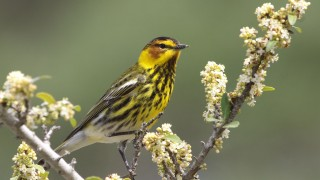 Cape-May-Warbler111