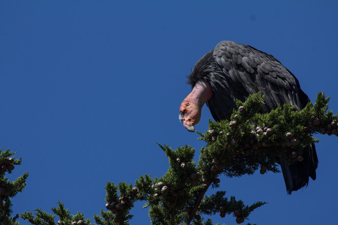 DDT dumped before 1971 is still harming condors today