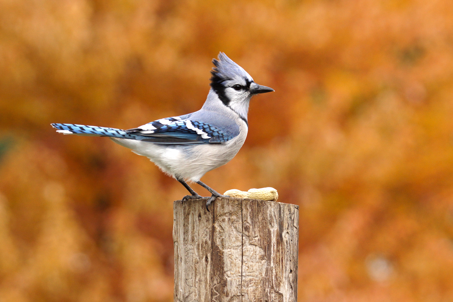 Species profile: Blue Jay – Nature's clown
