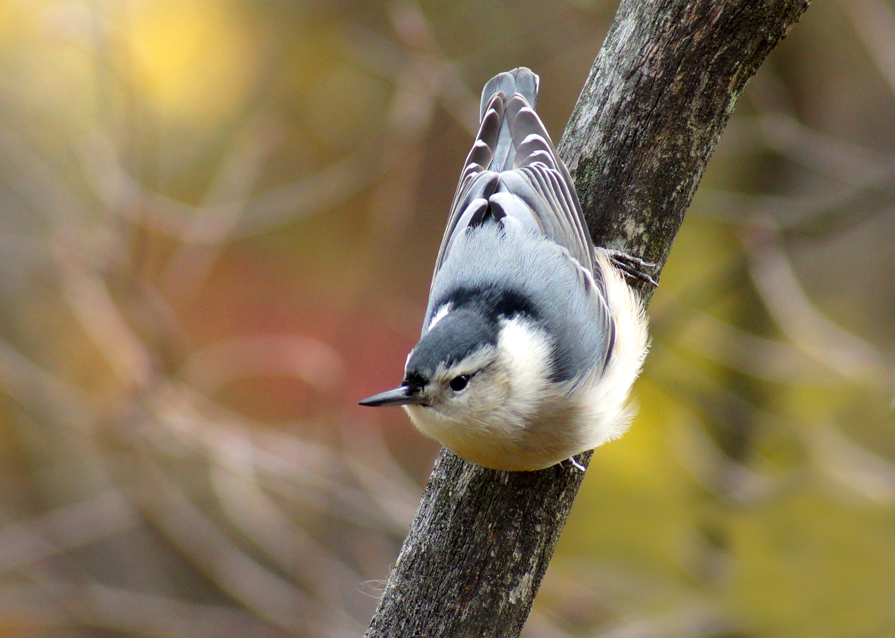 Julie Craves describes a friendly nuthatch's fierce display