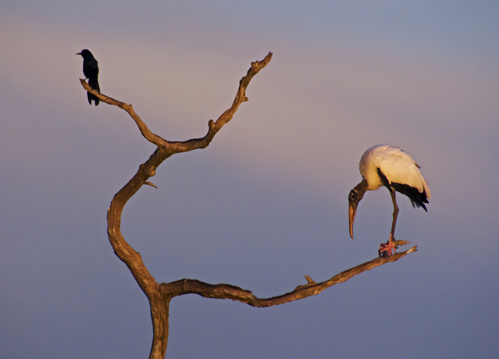 Wood Stork and grackle