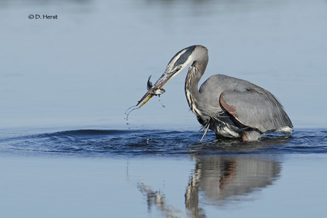 Great-Blue-Heron-with-lunch