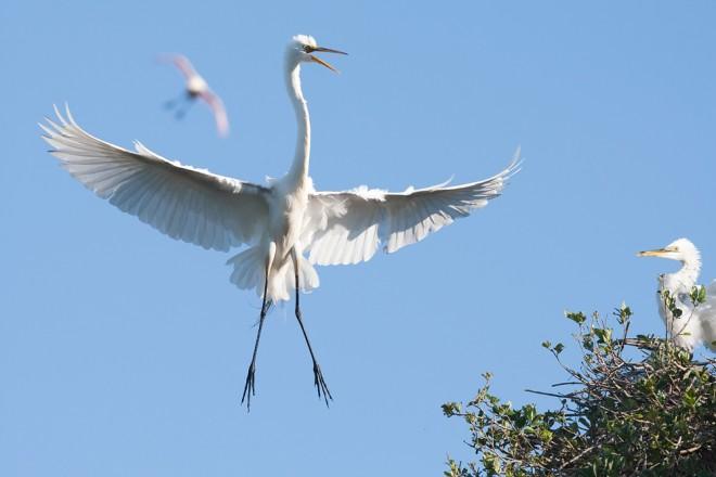 Great-Egret-WIF-NAT-GEO-pic