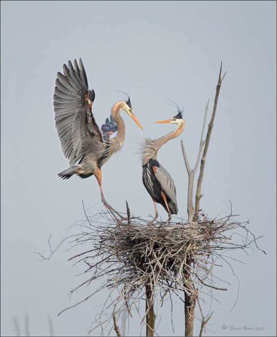 Great-blues-at-nest
