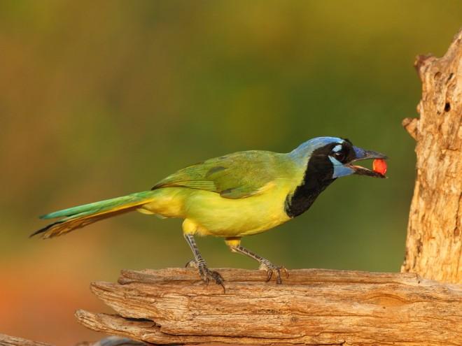 Green-Jay-with-peanut