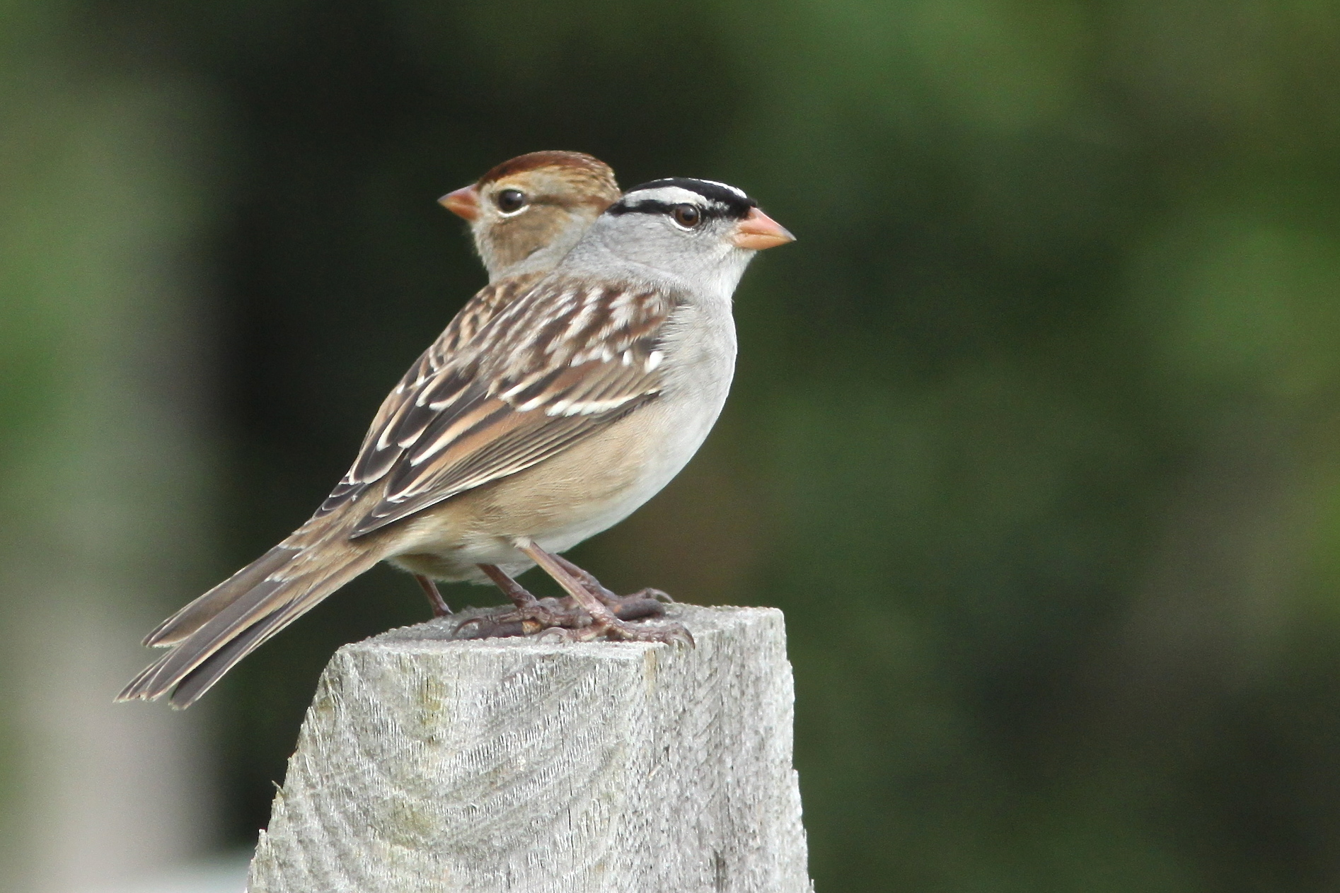 White-crowned Sparrows - BirdWatching