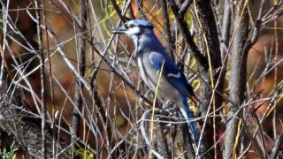 IMG_4049-Blue-Jay