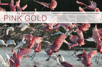 Roseate Spoonbill: Icon of South Florida