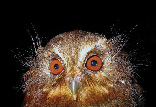 Eye on conservation: Protection added for Long-whiskered Owlet, one of the world's rarest birds