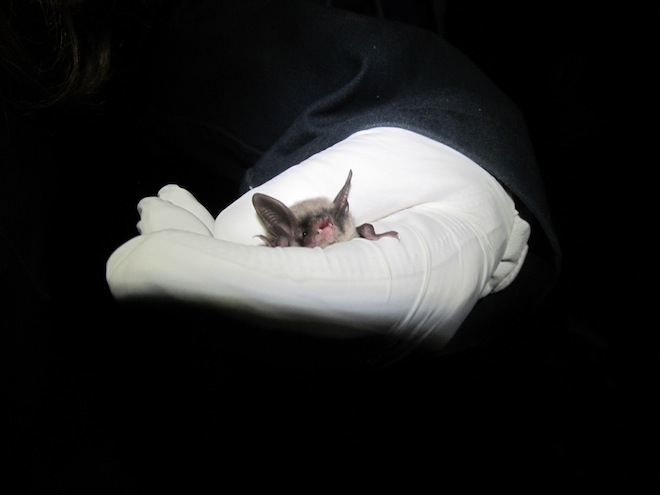 Endangered status proposed for bat plagued by White-nose Syndrome