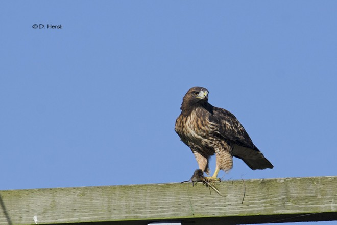 Red-tailed-Hawk-with-meal