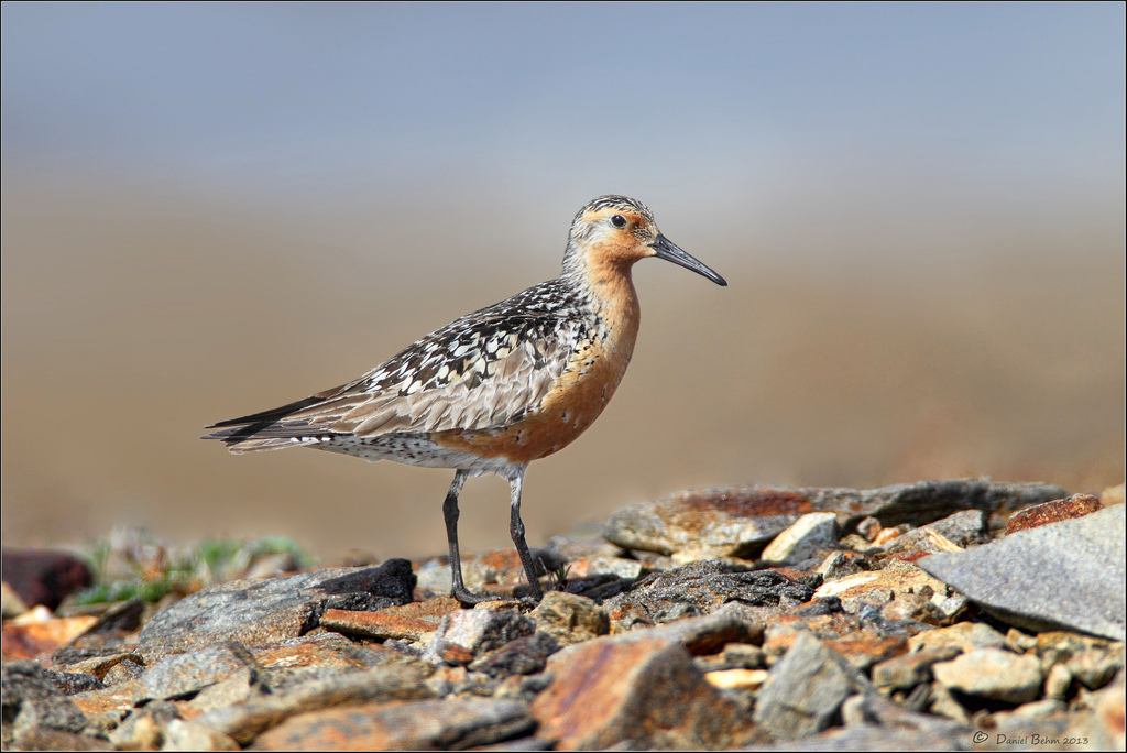 Texas coast and Hudson Bay shore are critical for Red Knot
