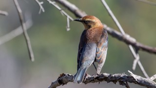 Rusty-Blackbird-3999-2