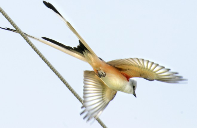 Scissor-Tailed-Fly-CatcherccSm
