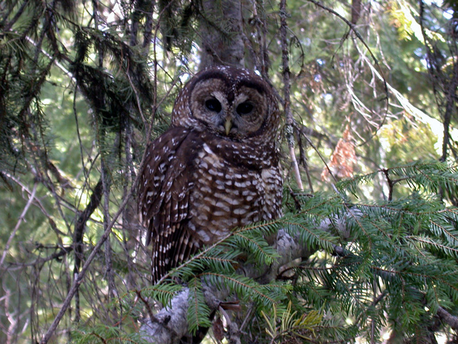 Will killing Barred Owls help Spotted Owls?