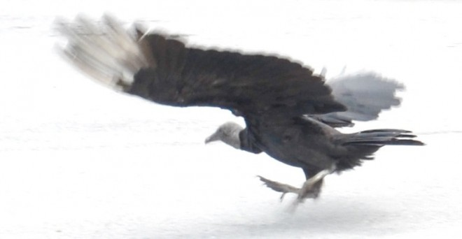 Vulture-in-motion-4-Final