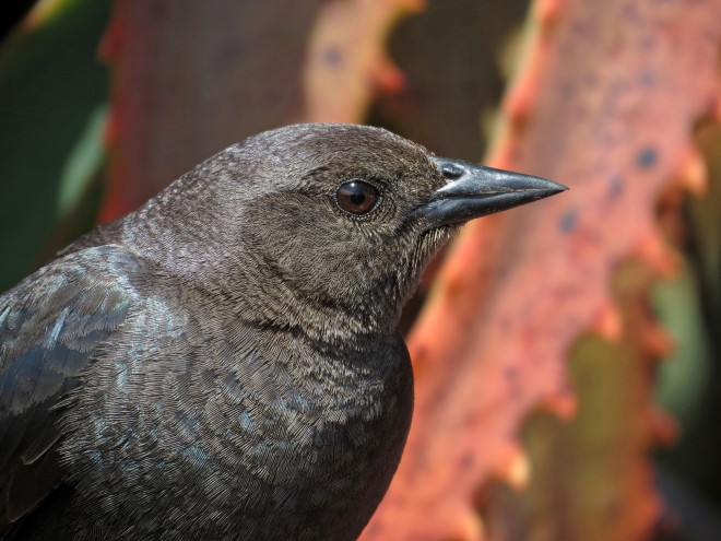 blackbirds2013-3