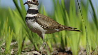 killdeer_3