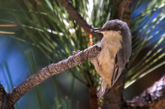pygmy-nuthatch-2773