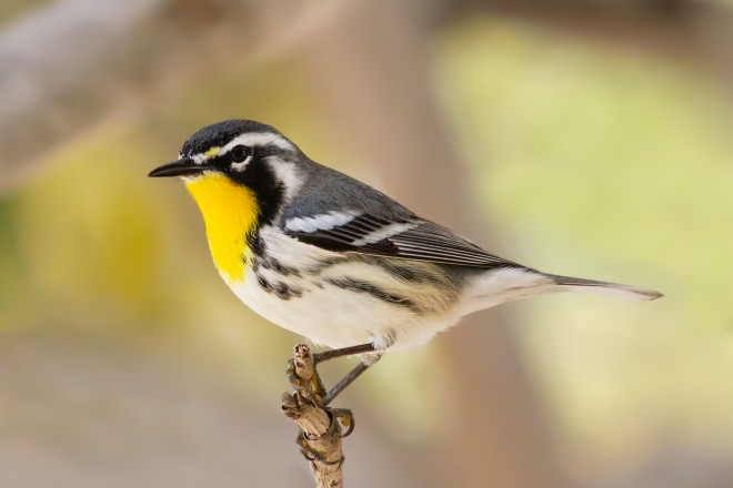 yellow-throated-warbler-6416