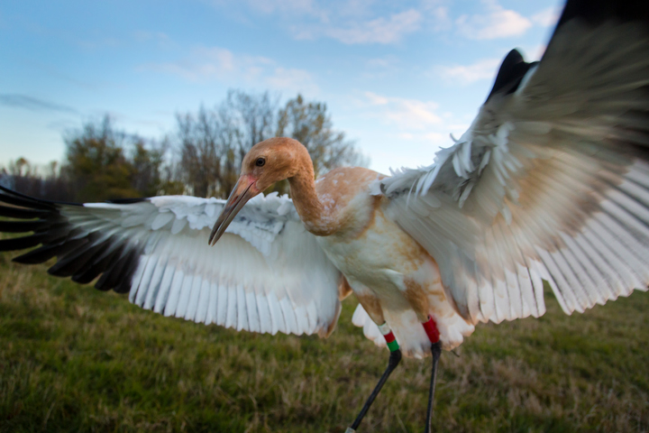 Photos of nine young Whooping Cranes and their costumed handlers