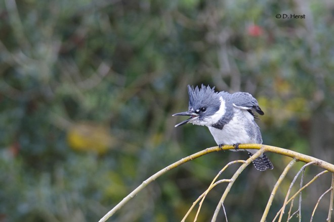 Belted-Kingfisher-2