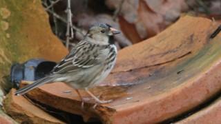Harris-Sparrow-H-G-McLeod-Hampton1.5